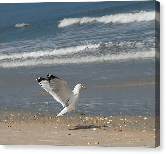 Sea Gull Landing Canvas Print by David Campione