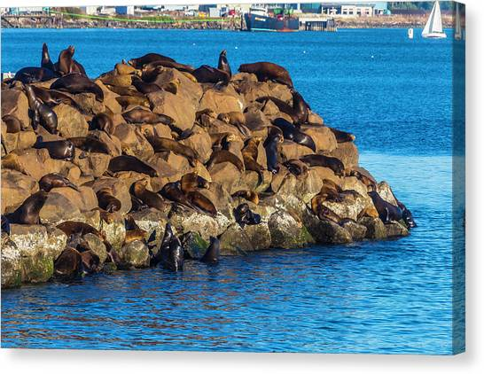 Flipper Canvas Print - Sea Lions Sunning On Rocks by Garry Gay