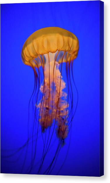 Blue Canvas Print - Sea Nettle Jellyfish (chrysaora Quinquecirrha) In An Aquarium by Patrick Strattner