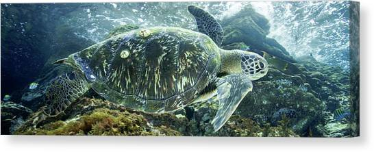 Sea Of Cortez Green Turtle Canvas Print