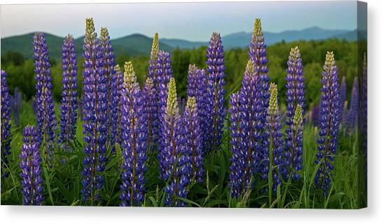 Sea Of Purple Canvas Print