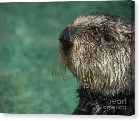 Sea Otter Stare Down Canvas Print
