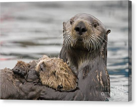 Sea Otters Canvas Print by Tim Grams