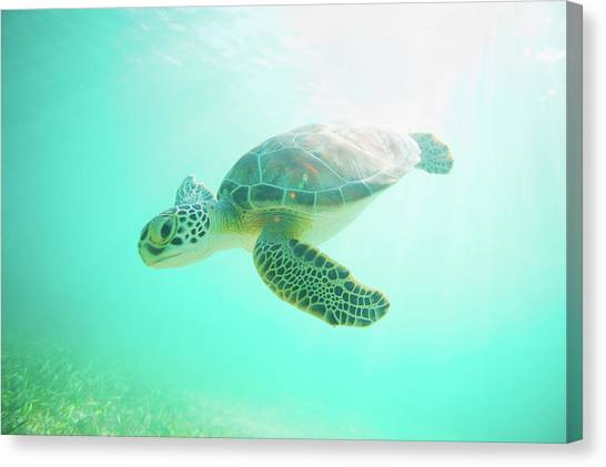 Turtles Canvas Print - Sea Turtle Baby by Monica and Michael Sweet