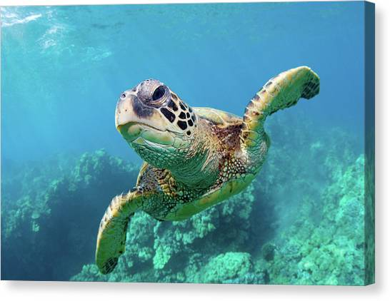 Hawaii Canvas Print - Sea Turtle, Hawaii by Monica and Michael Sweet