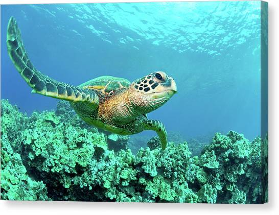 Nature Canvas Print - Sea Turtle In Coral, Hawaii by M Sweet