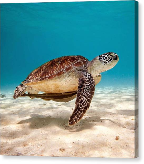 Sea Turtles Canvas Print - Sea Turtle by Mariel Mcmeeking