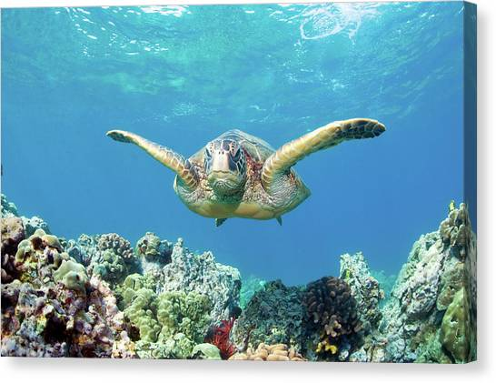 Coral Reefs Canvas Print - Sea Turtle Maui by M.M. Sweet