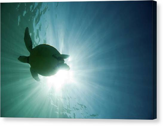 Turtles Canvas Print - Sea Turtle by M.M. Sweet