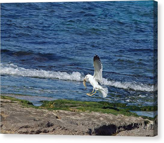 Seagull Canvas Print by Arik Baltinester