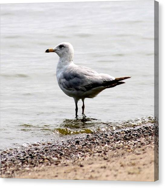 Seagulls Canvas Print - Seagull At Durand by Justin Connor