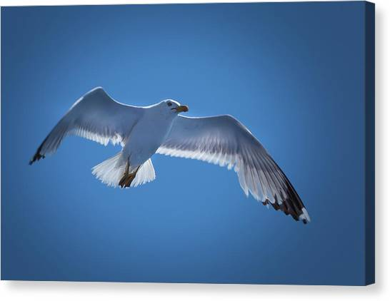 Canvas Print featuring the photograph Seagull by Davor Zerjav