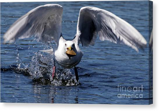 Seagull Flight Canvas Print