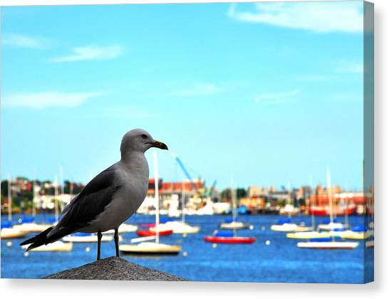 Seagull In Boston Harbor Canvas Print by Andrew Dinh