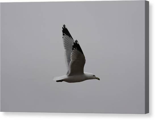 Seagull In Flight Canvas Print by Richard Mitchell
