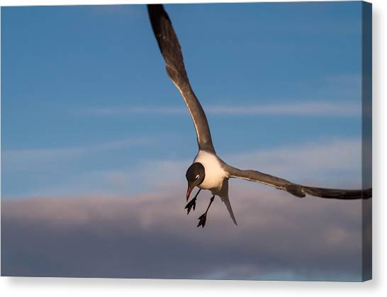Seagull In Flight Canvas Print