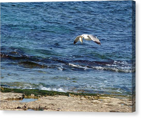 Seagull Meal Time 2 Canvas Print