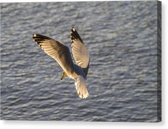 Seagull Over Cape Fear River Canvas Print