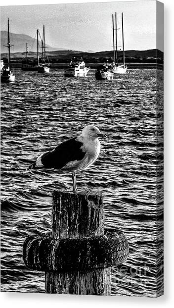 Seagull Perch, Black And White Canvas Print