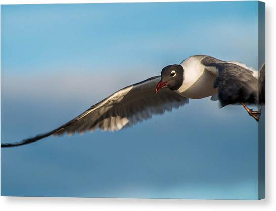Seagull Portrait In Flight Canvas Print