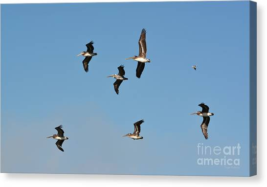Seagull Soaring With Pelicans Canvas Print
