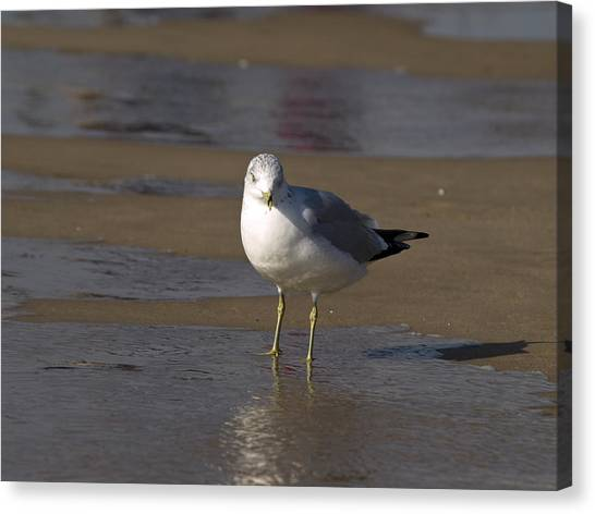 Seagull Standing Canvas Print
