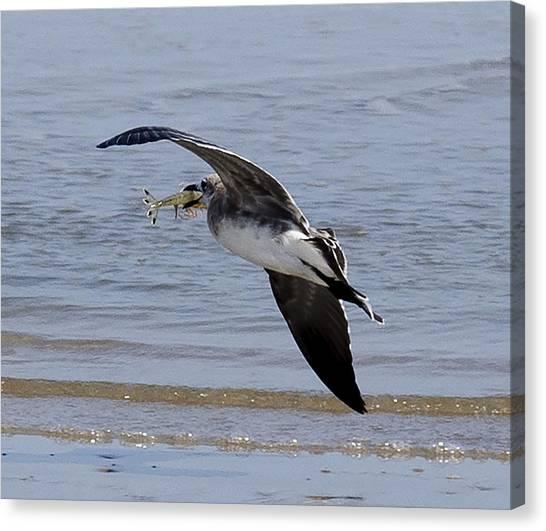 Seagull With Shrimp Canvas Print