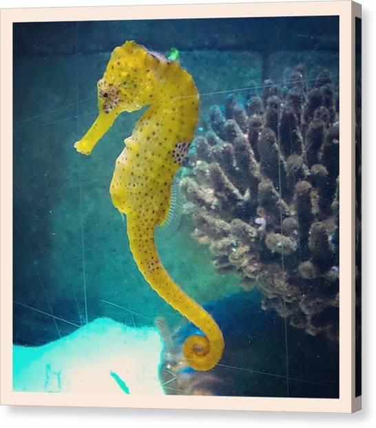Seahorses Canvas Print - #seahorse #aquatic #sealife #birmingham by Katie Greenwood