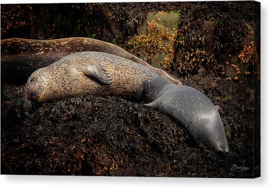 Canvas Print featuring the photograph Seal Nursing Pup by David A Lane