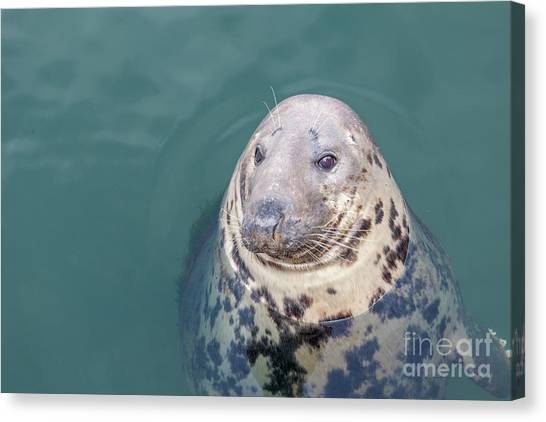 Seal With Long Whiskers With Head Sticking Out Of Water Canvas Print