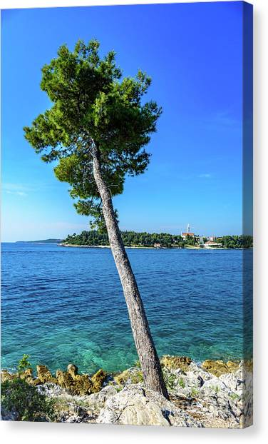 Seaside Leaning Tree In Rovinj, Croatia Canvas Print