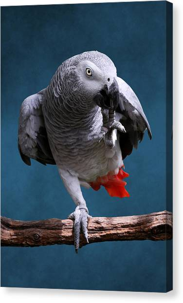 Secretive Gray Parrot Canvas Print