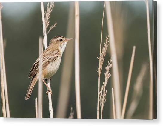 Sedge In The Sedge Canvas Print