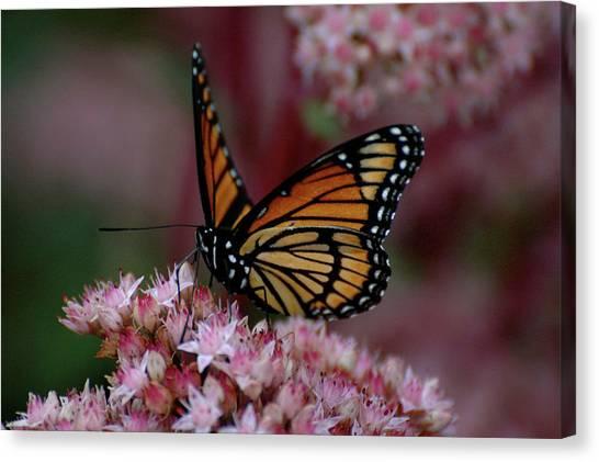 Sedum Butterfly Canvas Print