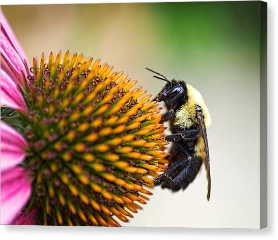 Seeking Nectar Canvas Print