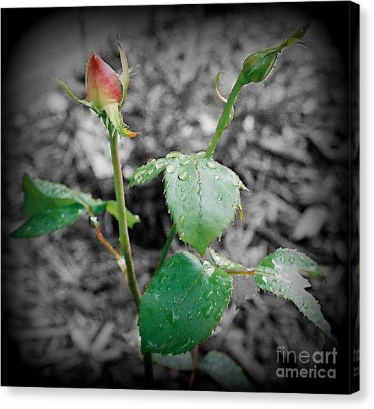 Selective Color Rose Bud Canvas Print by Emily Kelley
