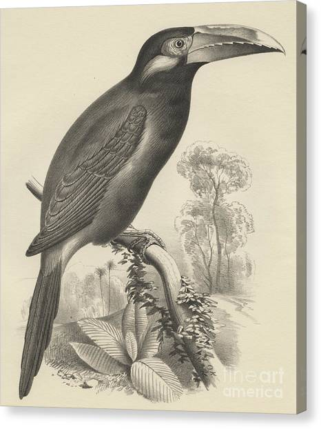 Toucans Canvas Print - Selenidera Spectabilis  Yellow Eared Toucanet by Otto Koehler