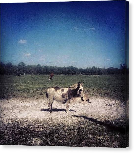 Donkeys Canvas Print - A Day In The Country by Catina Caruthers