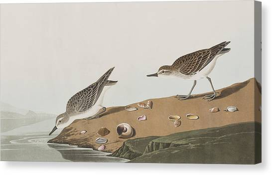 Sandpipers Canvas Print - Semipalmated Sandpiper by John James Audubon