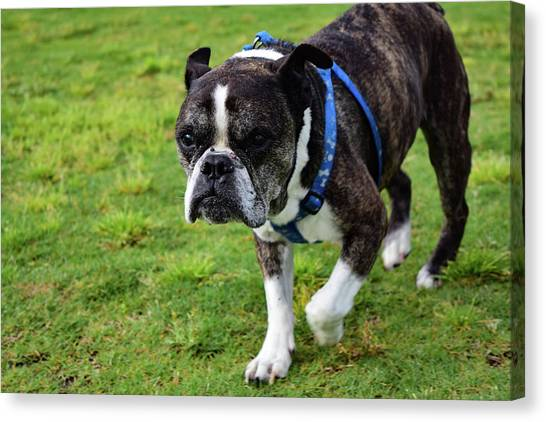Leroy The Senior Bulldog Canvas Print