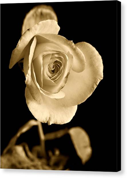 Sepia Antique Rose Canvas Print