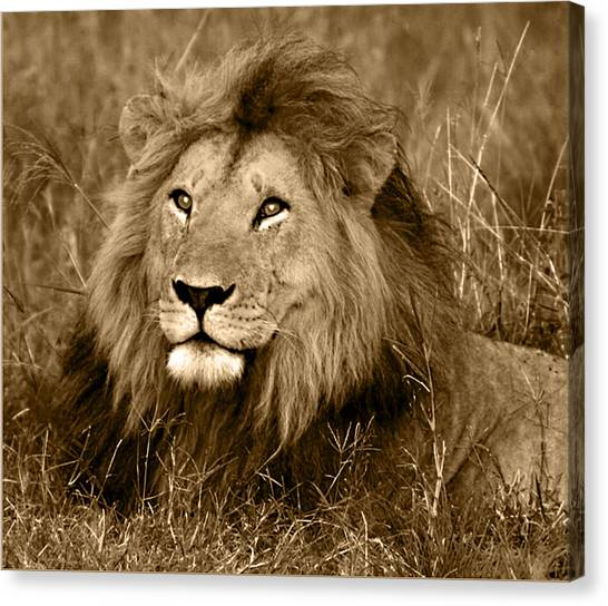 Lions Canvas Print - Sepia Lion by Nancy D Hall