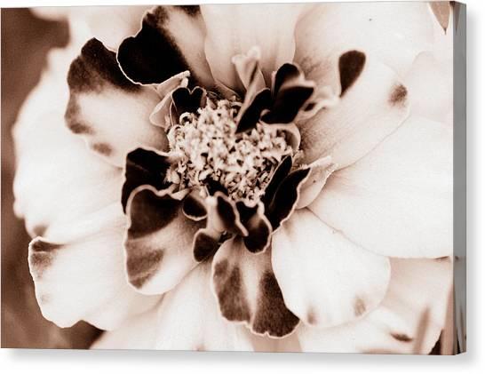 Sepia Marigold Canvas Print