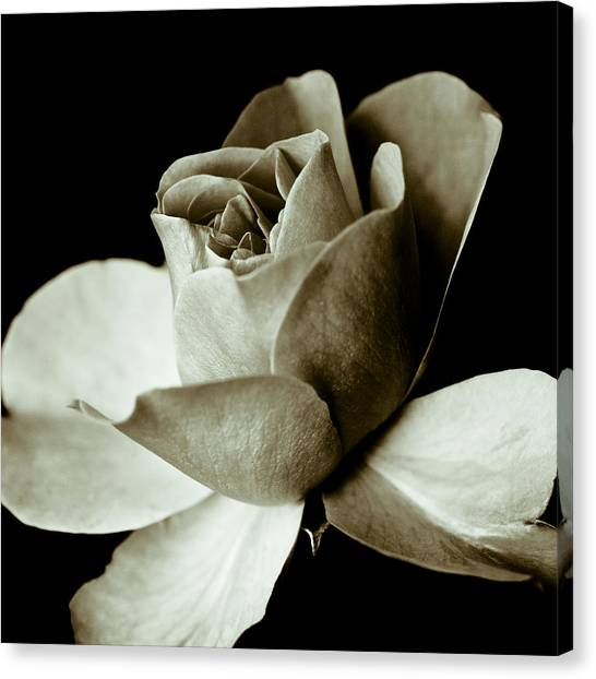 Sepia Rose Canvas Print by Frank Tschakert