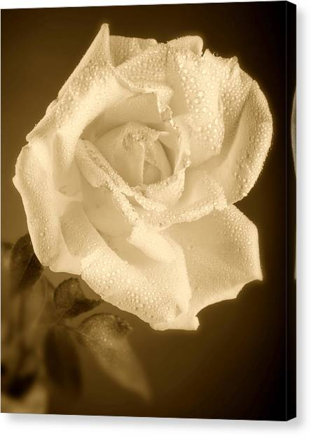 Sepia Rose With Rain Drops Canvas Print