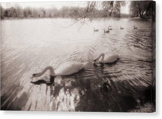 Sepia Swans Canvas Print
