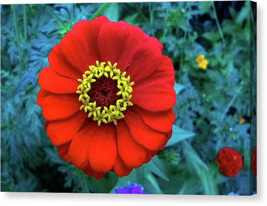 September Red Beauty Canvas Print