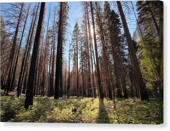 Sequoia Forest At Sunrise Canvas Print by Rick Pham
