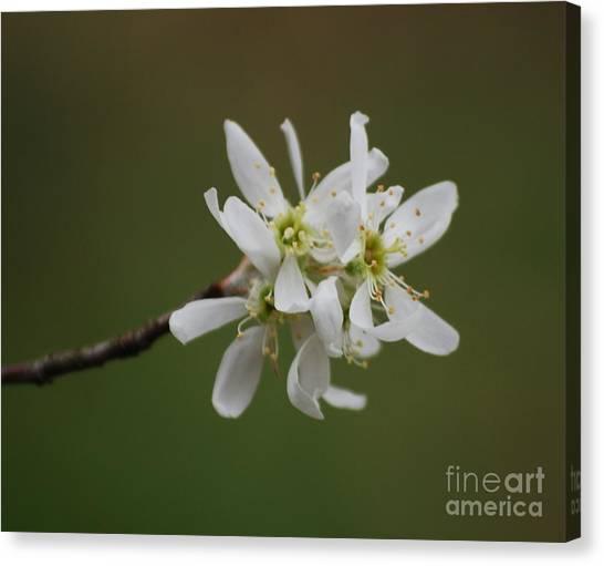 Serviceberry Bloom Canvas Print