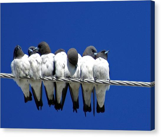Swallow Canvas Print - Seven Swallows Sitting by Holly Kempe